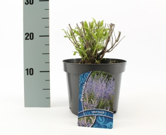 Perovskia atriplicifolia 'Blue Spire'   Reuzenlavendel (Ø 17cm pot)