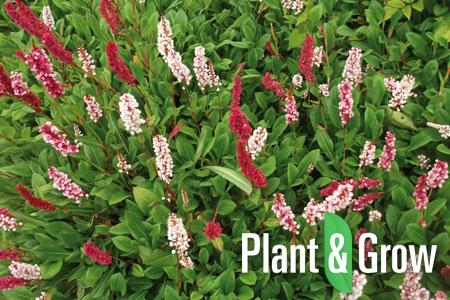 Persicaria affinis 'Darjeeling Red' | Duizendknoop