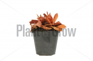 Persicaria affinis 'Darjeeling Red' | Duizendknoop (pot 9x9cm) - WINTERBEELD