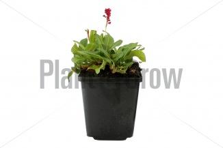 Persicaria affinis 'Darjeeling Red' | Duizendknoop (pot 9x9cm) - ZOMERBEELD