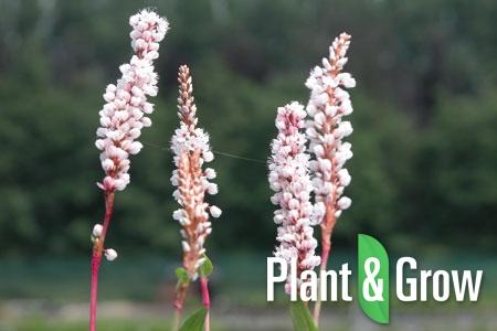 Persicaria affinis 'Superba' | Duizendknoop