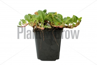 Persicaria affinis 'Superba' | Duizendknoop (pot 9x9cm) - ZOMER