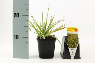 Phalaris arundinacea 'Picta' | Rietgras (pot 9x9cm) - VOORJAAR