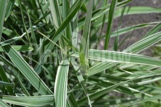 Phalaris arundinacea 'Picta' | Rietgras