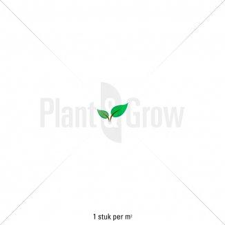 Plantafstand   Philadelphus 'Belle Etoile'