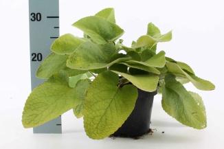Phlomis russeliana | Brandkruid (Ø 17cm pot)
