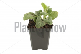 Phlomis russeliana | Brandkruid (pot 9x9cm) - VOORJAAR