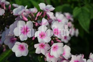 Phlox paniculata 'Bright Eyes' | Vlambloem