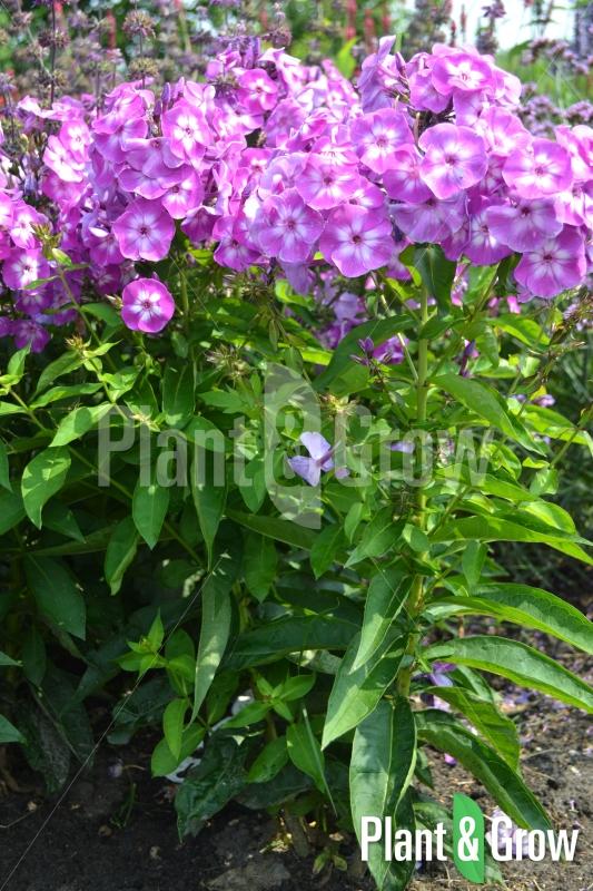 Phlox paniculata 'Laura' | Vlambloem