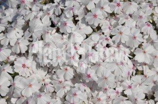 Phlox subulata 'Amazing Grace' | Kruipvlambloem