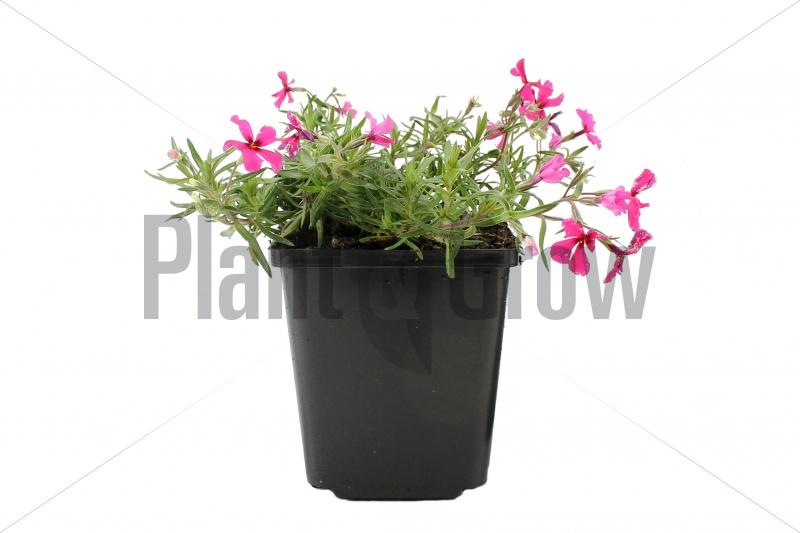 phlox subulata atropurpurea kopen plant grow 800 x 533 · jpeg