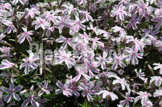 Phlox subulata 'Candy Stripes' | Kruipvlambloem