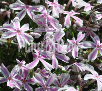 Phlox subulata 'Candy Stripes' Kruipvlambloem