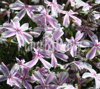 Phlox subulata 'Candy Stripes' Kruipvlambloem