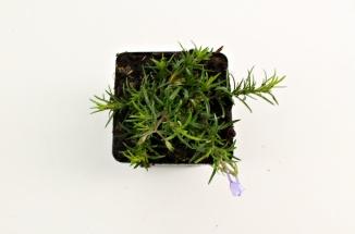 Phlox subulata 'Emerald Cushion Blue' | Vlambloem (pot 9x9cm)