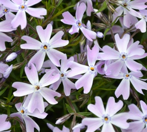 Phlox subulata 'Emerald Cushion Blue' Vlambloem