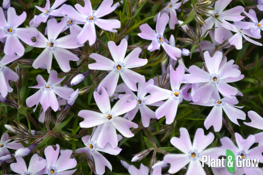 Phlox subulata 'Emerald Cushion Blue' | Vlambloem