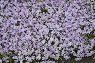Phlox subulata 'Emerald Cushion Blue' | Vlambloem