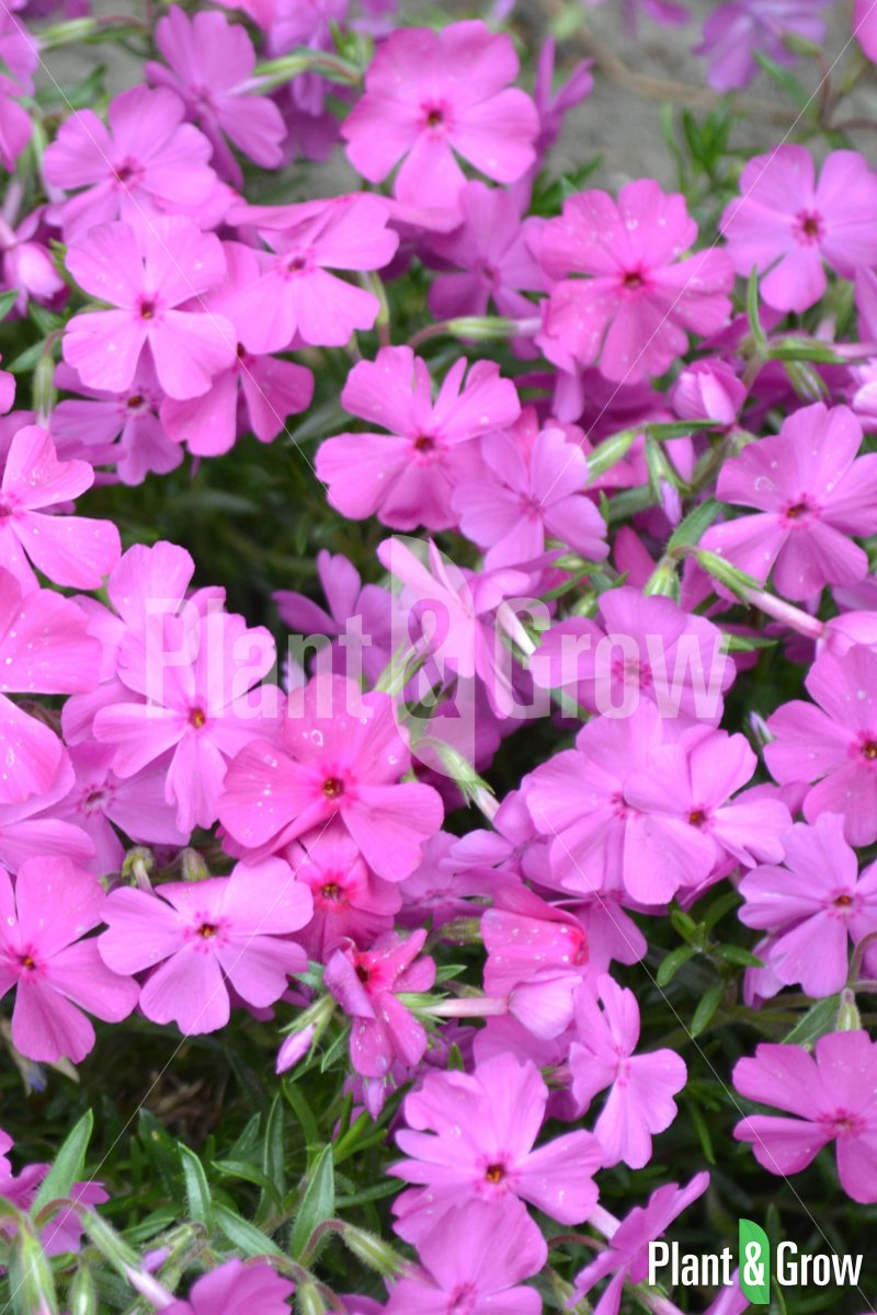 Phlox subulata 'Mac Daniel's Cushion'