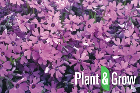 Phlox subulata 'Purple Beauty' | Vlambloem