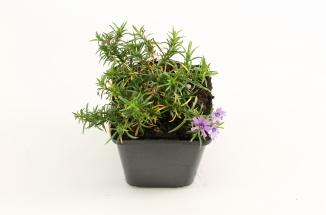 Phlox subulata 'Purple Beauty' | Vlambloem (pot 9x9cm)