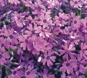 Phlox subulata 'Purple Beauty' Vlambloem