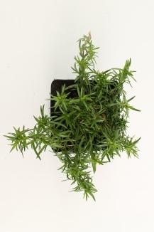 Phlox subulata 'Scarlet Flame' | Kruipvlambloem (pot 9x9cm)