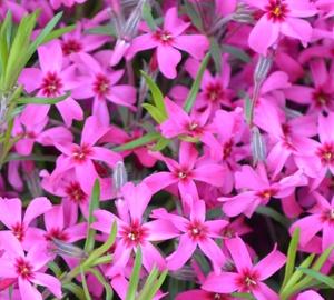Phlox subulata 'Scarlet Flame' Kruipvlambloem