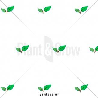 Plantafstand | Phlox subulata 'Scarlet Flame' (pot 9x9 cm)