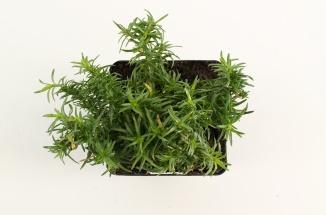 Phlox subulata 'White Delight' | Kruipvlambloem (pot 9x9cm)