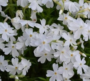 Phlox subulata 'White Delight' Kruipvlambloem