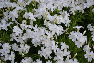 Phlox subulata 'White Delight' | Kruipvlambloem