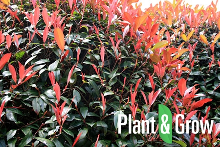 photinia fraseri 39 little red robin 39 kopen plant grow. Black Bedroom Furniture Sets. Home Design Ideas