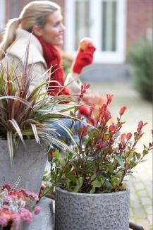 Photinia fraseri 'Little Red Robin'   Glansmispel