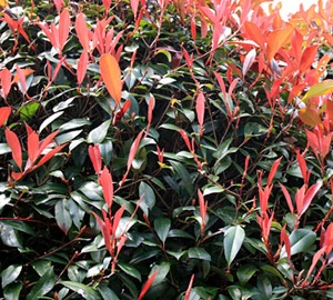 Photinia fraseri 'Little Red Robin' Glansmispel