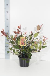 Photinia fraseri 'Little Red Robin' | Glansmispel (Ø 17cm pot)