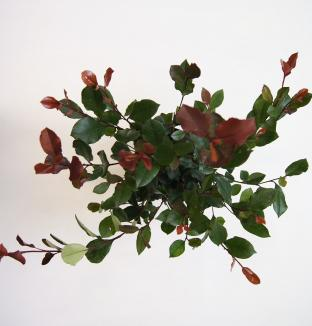 Photinia fraseri 'Little Red Robin'   Glansmispel (Ø 17cm pot)