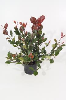 Photinia fraseri 'Little Red Robin' | Glansmispel (Ø 17cm pot)