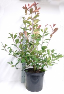 Photinia fraseri 'Red Robin' | Glansmispel (12L pot)