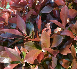 Photinia fraseri 'Red Robin' Glansmispel