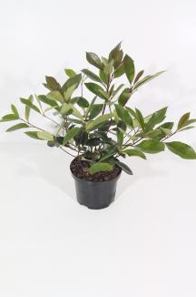 Photinia fraseri 'Red Robin' | Glansmispel (Ø 17cm pot)