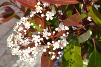 Photinia fraseri 'Red Robin' | Glansmispel
