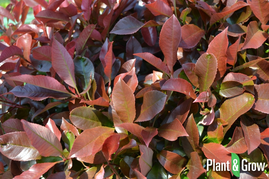Photinia fraseri 'Red Robin'   Glansmispel