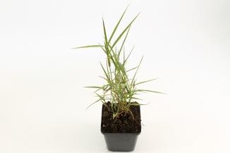Phragmites australis | Riet (pot 9x9cm)