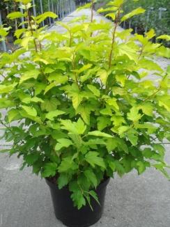 Physocarpus opulifolius 'Dart's Gold' | Blaasspirea (12L pot)