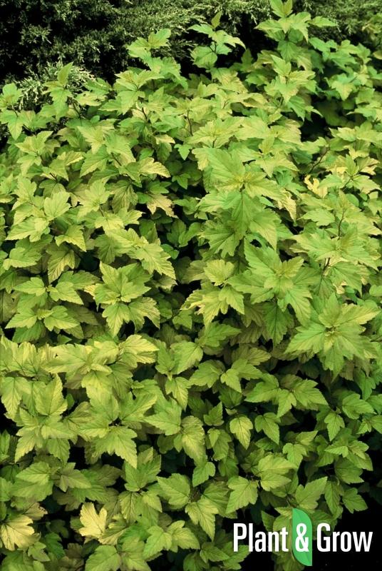 Physocarpus opulifolius 'Dart's Gold' | Blaasspirea