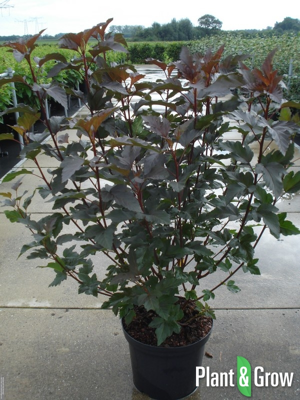 physocarpus opulifolius 39 diabolo 39 blaasspirea kopen plant grow. Black Bedroom Furniture Sets. Home Design Ideas