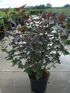 Physocarpus opulifolius 'Diabolo' | Blaasspirea (12L pot)