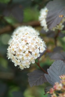 Physocarpus opulifolius 'Diabolo' | Blaasspirea