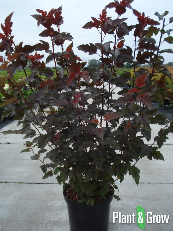 Physocarpus opulifolius 'Lady in Red' | Blaasspirea (12L pot)